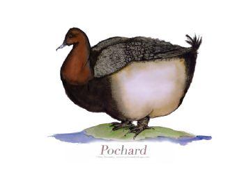 Pochard - signed print